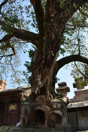 A tree holding up a crumbling temple, or is the temple holding up the tree?
