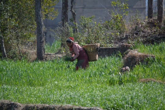 A lady harvests the field outside our room, still not sure exactly what for.