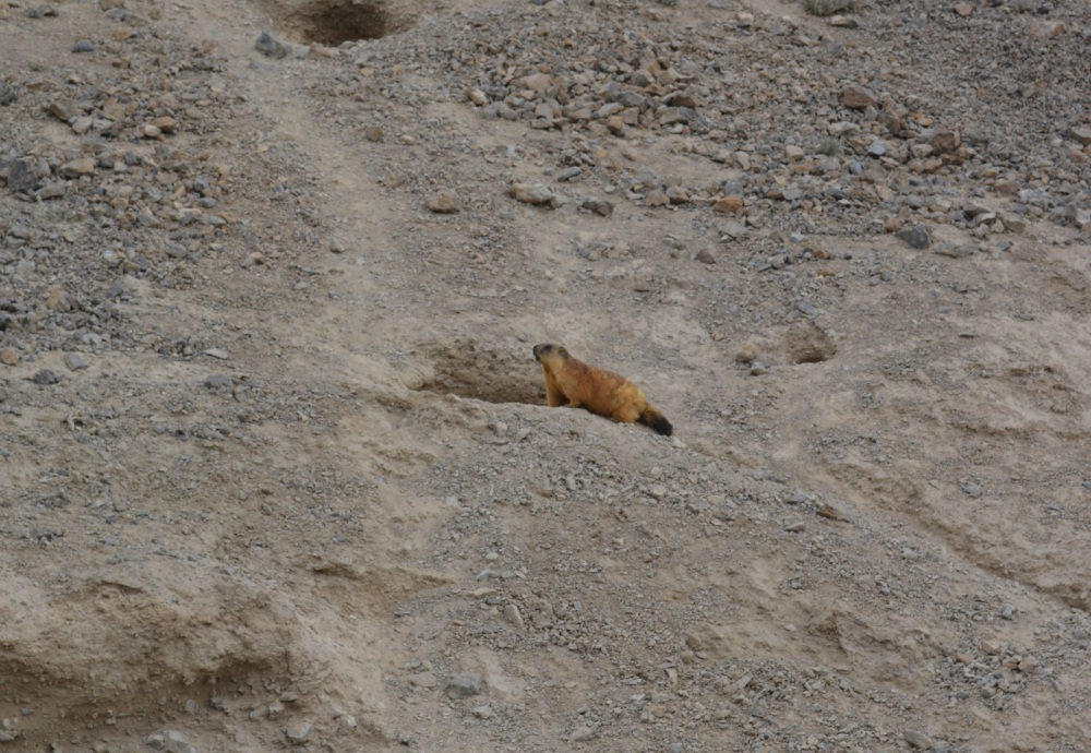 A marmot, about the only wild life we've seen in Tajikistan bar the odd bird.